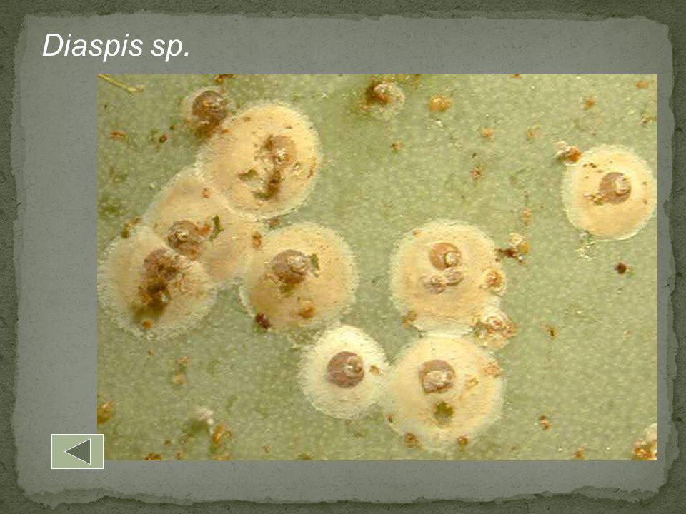 Diaspis sp.