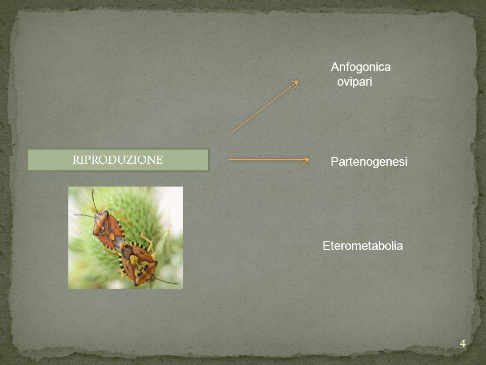 Anfogonica ovipari Partenogenesi RIPRODUZIONE Eterometabolia