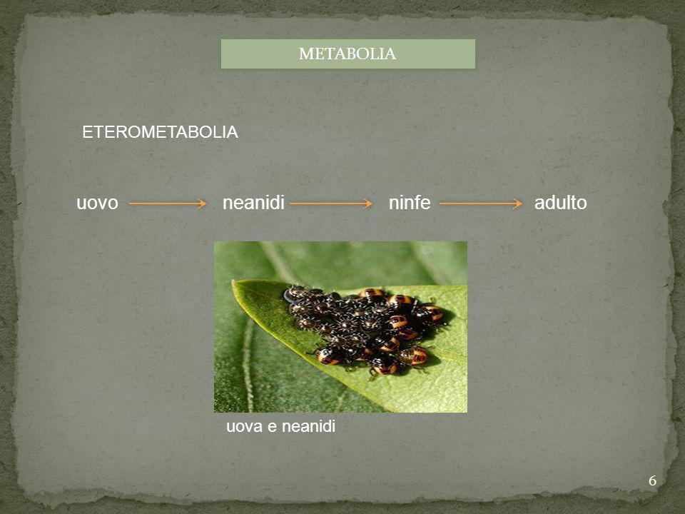 METABOLIA ETEROMETABOLIA. uovo neanidi ninfe adulto.
