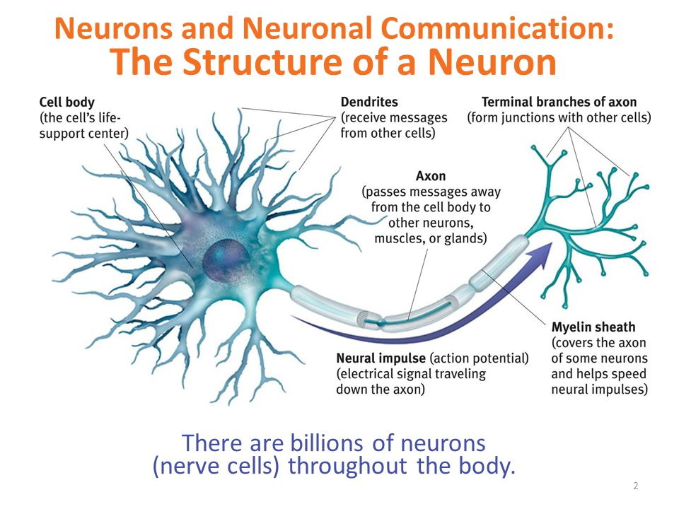 communication process of neurons in the brain The brain and nervous system  100 billion neurons in the human brain and each has many  hemispheres of the brain process sensory information and motor commands .