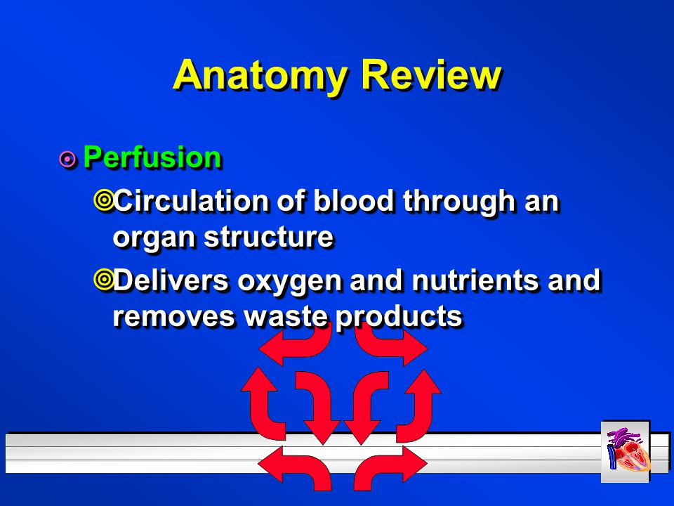 Anatomy Review Perfusion