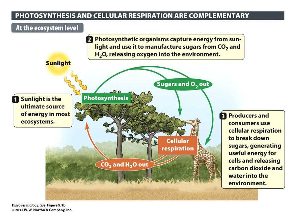 Discover biology fifth edition ppt download 5 figure 91b the relationship between photosynthesis and cellular respiration ccuart Gallery