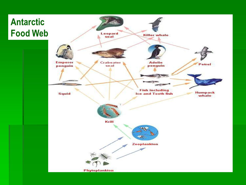Energy flow through our ecosystem ppt video online download for Antarctic cuisine