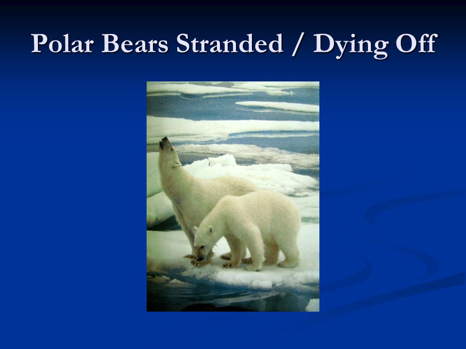 Polar Bears Stranded / Dying Off