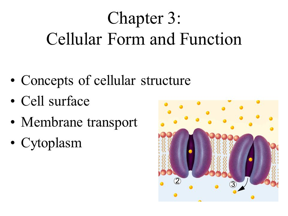 Chapter 3: Cellular Form and Function - ppt video online download