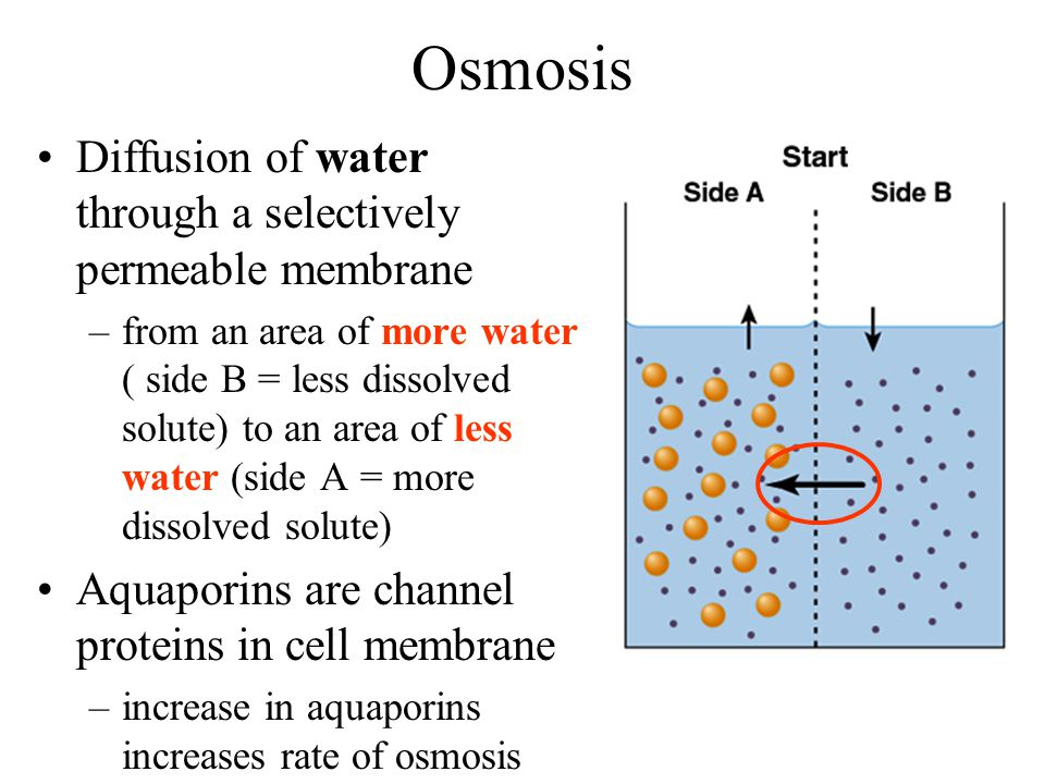 rate of osmosis Lab #5: osmosis, tonicity, and concentration background the internal environment of the human body consists largely of water-based solutions.