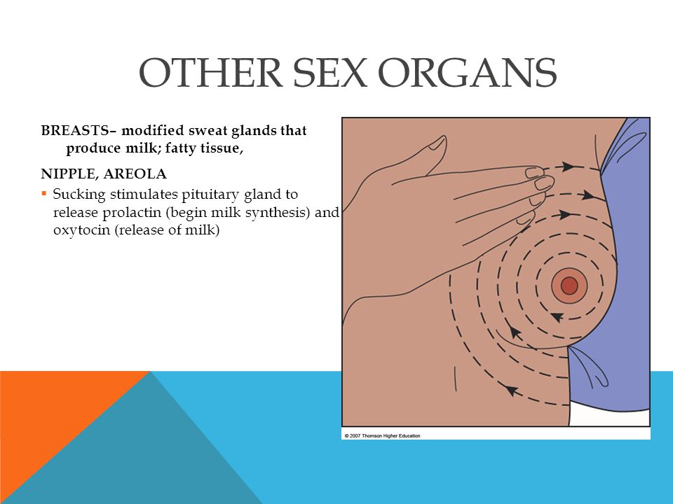 OTHER SEX ORGANS BREASTS– modified sweat glands that produce milk; fatty tissue, NIPPLE, AREOLA.
