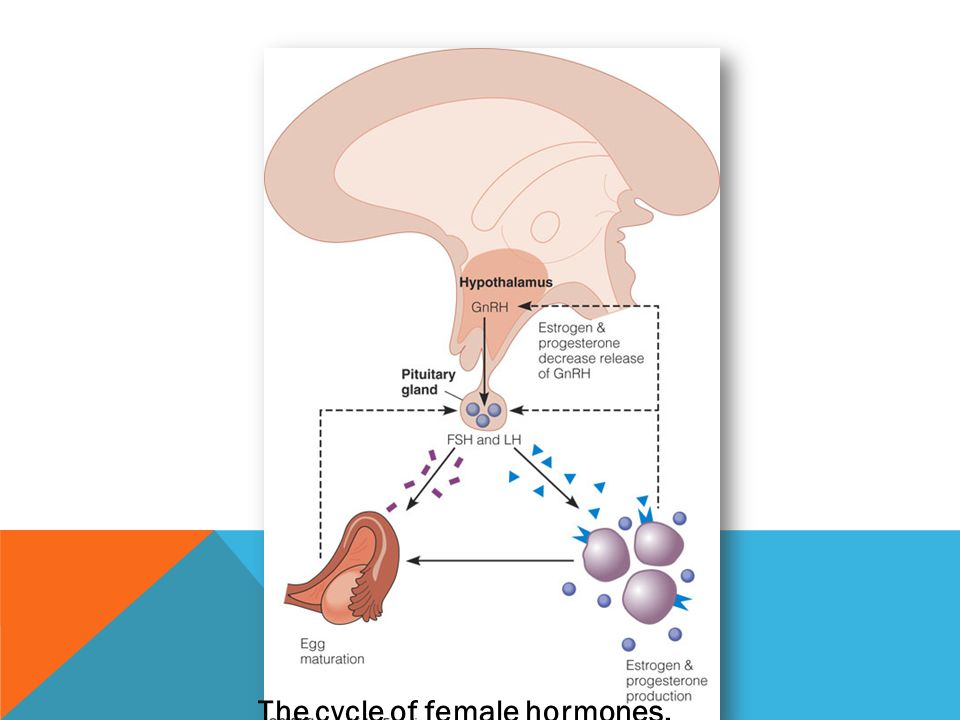 The cycle of female hormones.