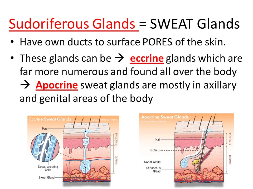 accessory structures of the skin (a.k.a. skin appendages) - ppt, Human Body