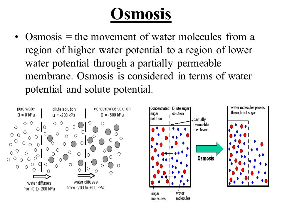osmosis of potatoes in sugar water Through the process of osmosis, water will move from a region of high water potential ('concentration') to low water potential therefore, water will slowly leave the cells of the potato and enter the sugar solution in an attempt to reach equilibrium and the potato will therefore lose mass.