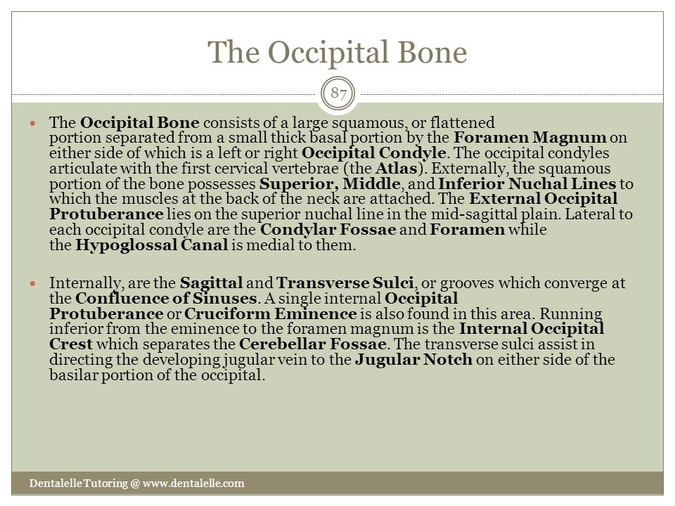 The Occipital Bone