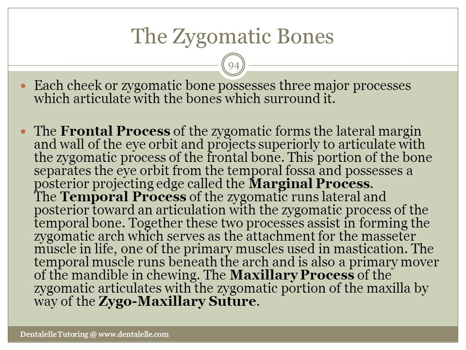 The Zygomatic Bones Each cheek or zygomatic bone possesses three major processes which articulate with the bones which surround it.