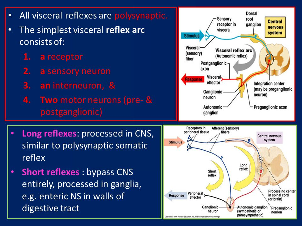 The autonomic nervous system ppt video online download all visceral reflexes are polysynaptic ccuart Gallery