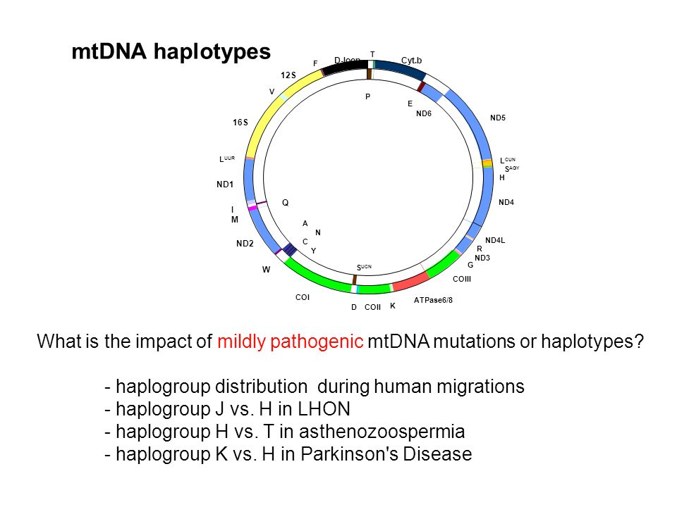 mtDNA haplotypes F. V. LUUR. T. P. E. LCUN. SAGY. H. ND5. ND6. ND4. ND4L. ND3. R. COIII.