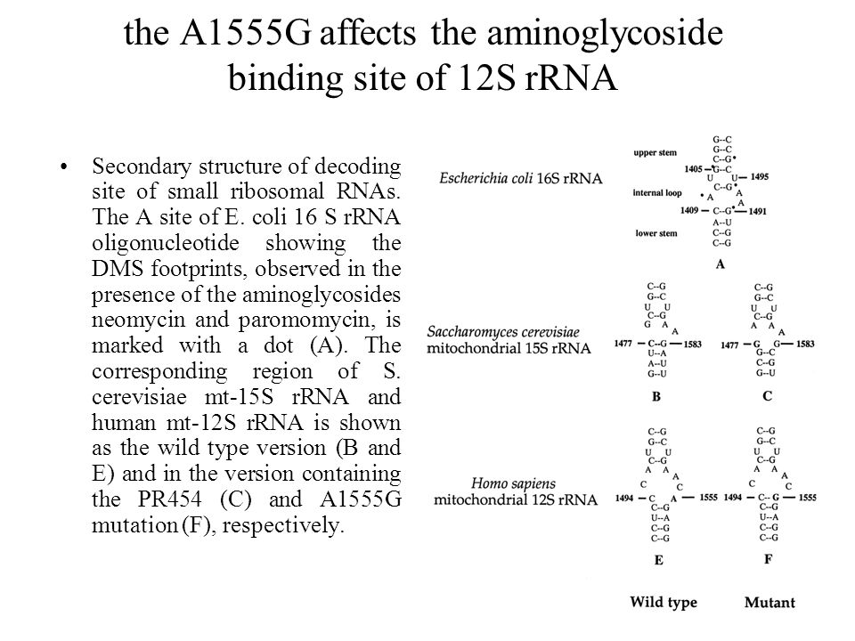 the A1555G affects the aminoglycoside binding site of 12S rRNA