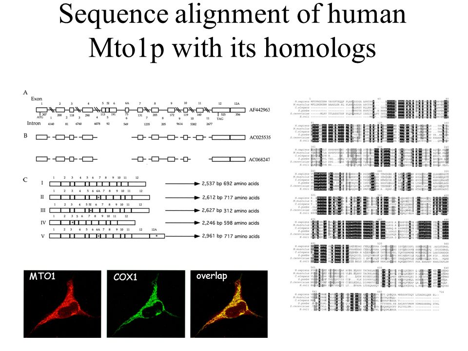 Sequence alignment of human Mto1p with its homologs