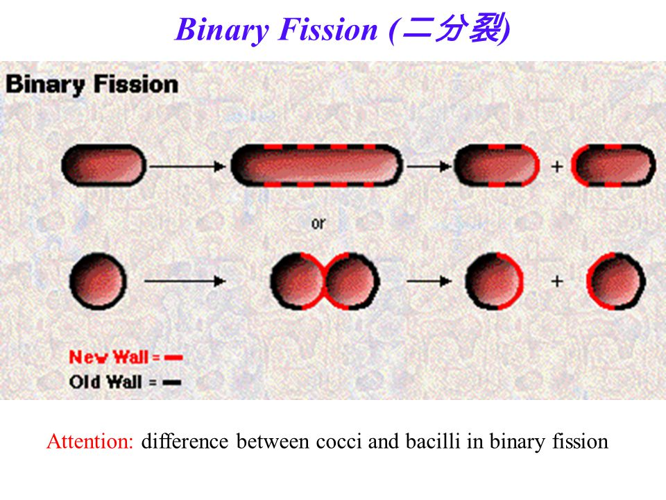 Binary Fission (二分裂) Attention: difference between cocci and bacilli in binary fission