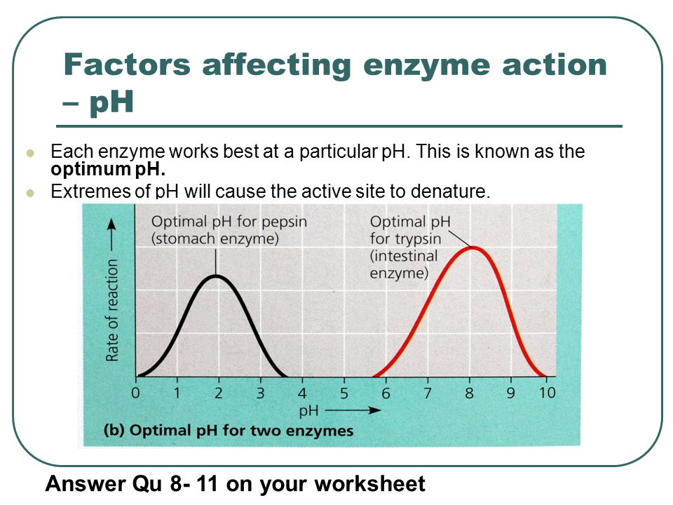 Revision lesson on enzymes ppt video online download – Enzyme Worksheet