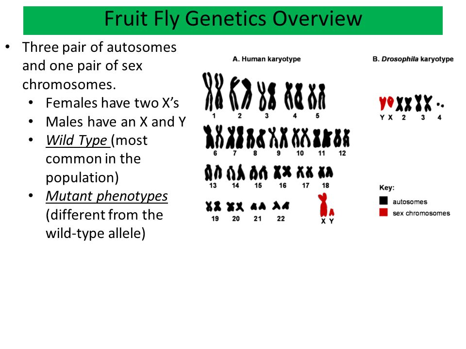 population genetics fruit fly Is normally used vaguely, and is not easily defined in population genetic terms (box 1) to avoid confusion, it is best to break down 'reproductive isolation' into: (i) natural.