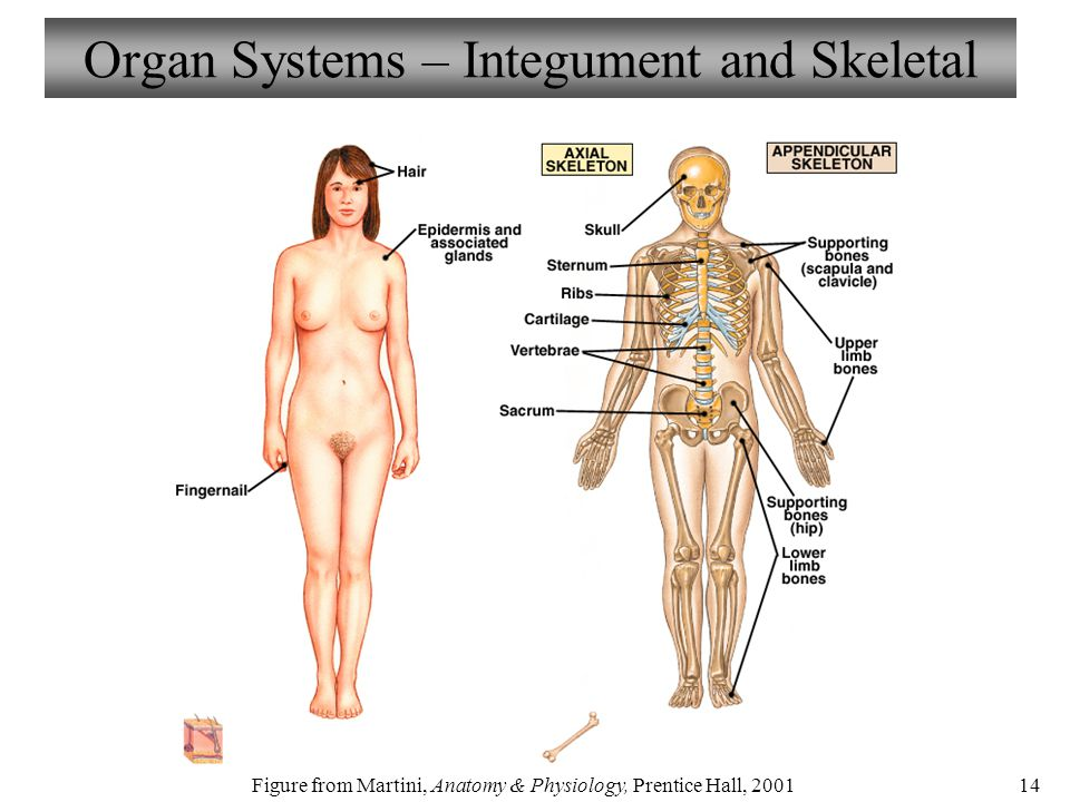 Welcome to Biology 211 Human Anatomy & Physiology I - ppt download