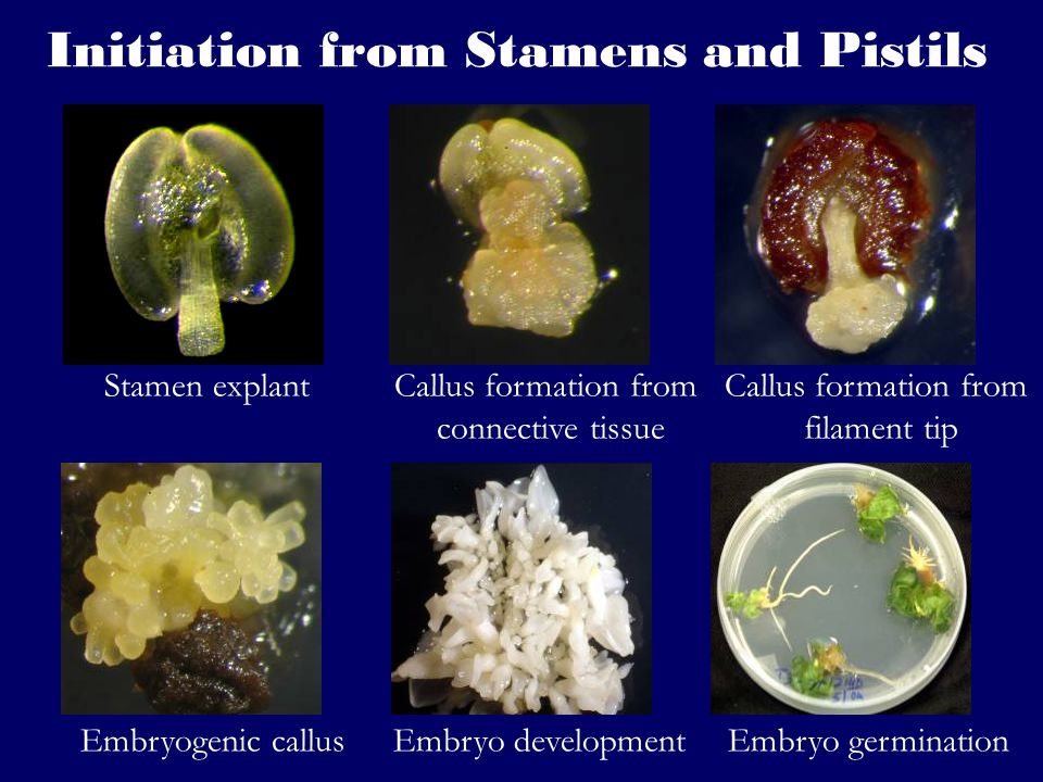 Plant Tissue Culture Application - ppt video online download