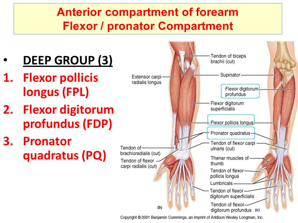 flexor digitorum group