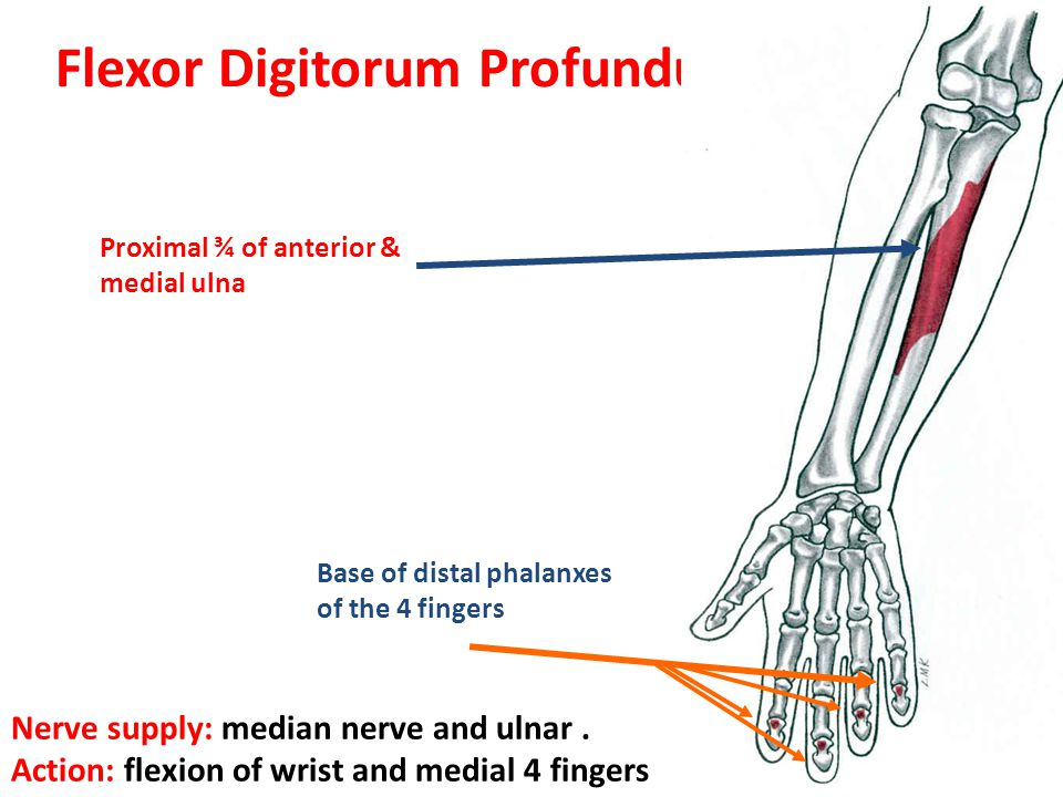 Flexor Digitorum Profundus And Superficialis Median Nerve - ma