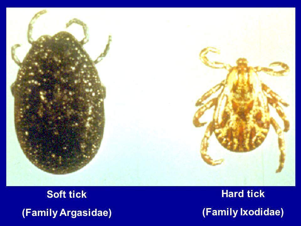 Soft tick (Family Argasidae) Hard tick (Family Ixodidae)