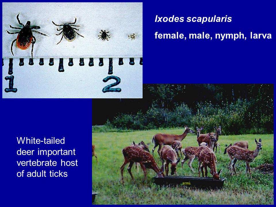Ixodes scapularis female, male, nymph, larva.