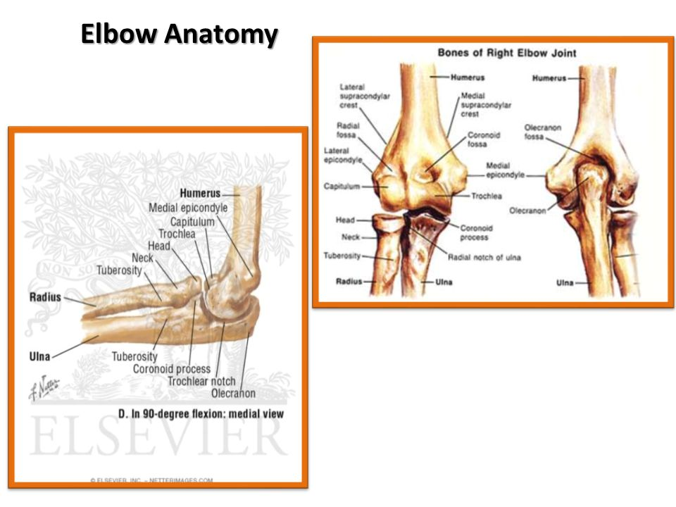 Canine Elbow Anatomy Images - human body anatomy