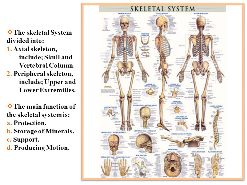 The skeletal System divided into: