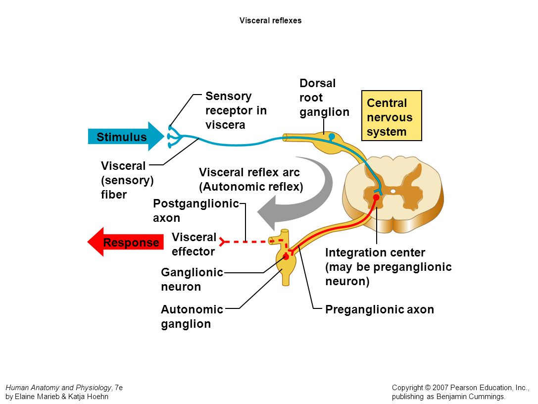 sensory processing disorders and the central nervous Sensory integration the central nervous system (cns) is essentially a large computer processing center operated by the brain and the spinal cord this computer processing center is responsible for receiving, interpreting, and organizing sensory information.