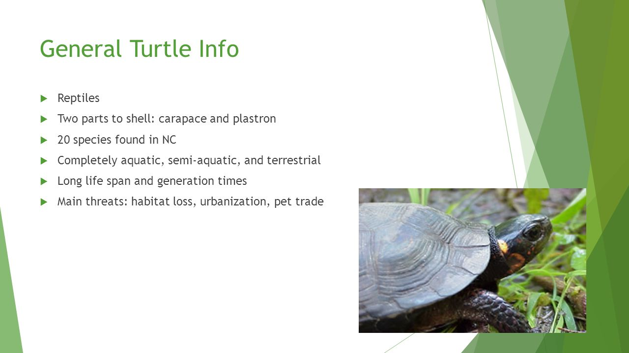 Turtles. - ppt download