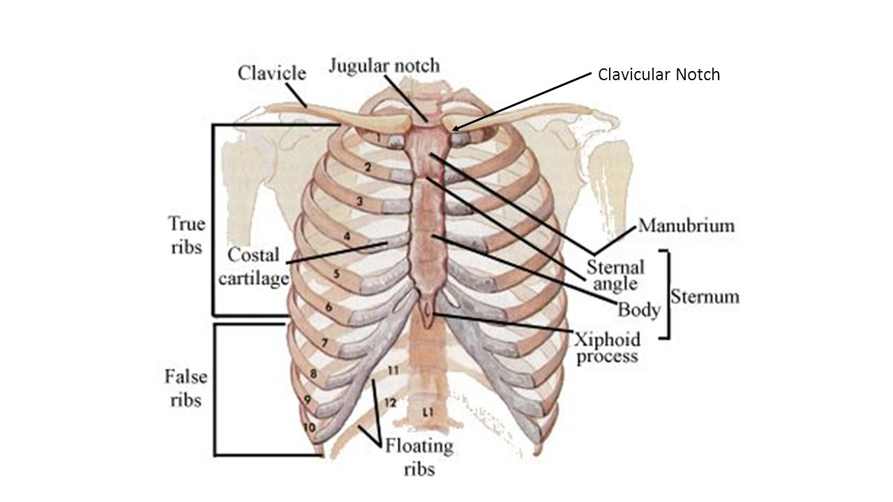 Anatomy Of The Ribs Shoulder Bone And Clavicle Ppt Video Online