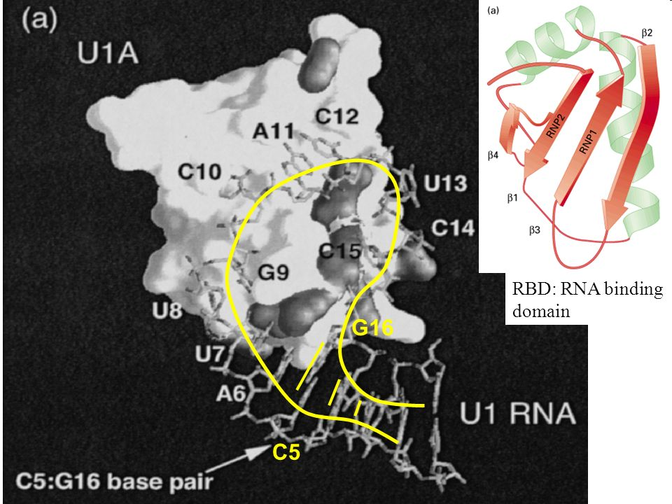 RBD: RNA binding domain