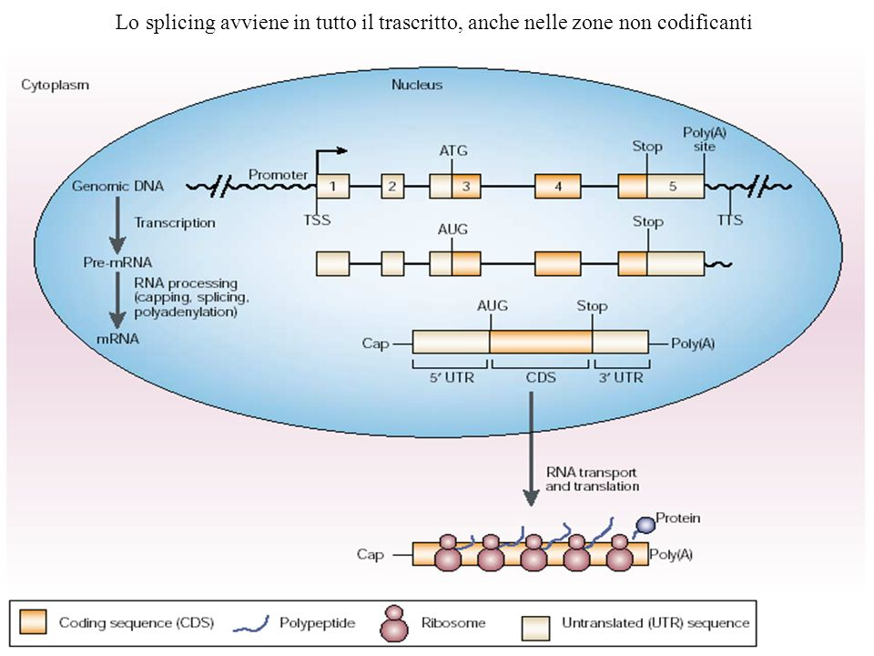 Lo splicing avviene in tutto il trascritto, anche nelle zone non codificanti