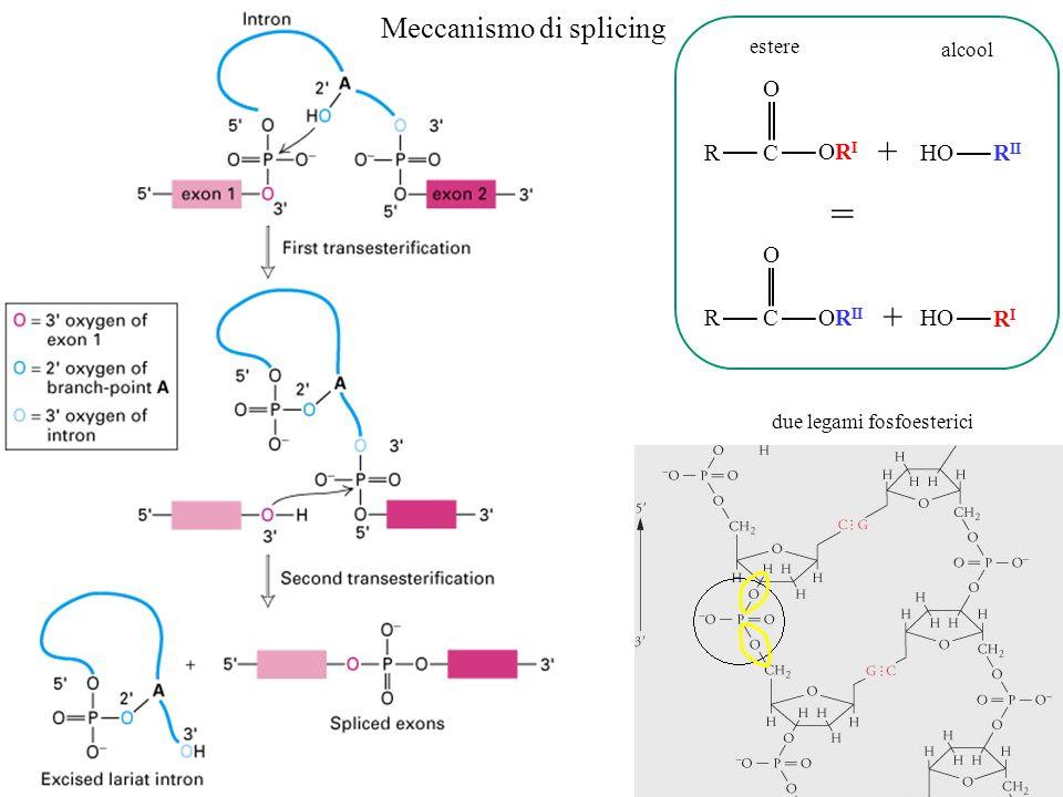 = + + Meccanismo di splicing O R C ORI HO RII O R C ORII HO RI estere