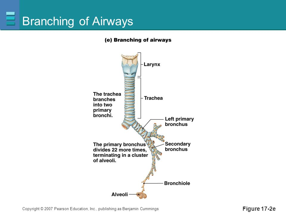 Branching of Airways Figure 17-2e