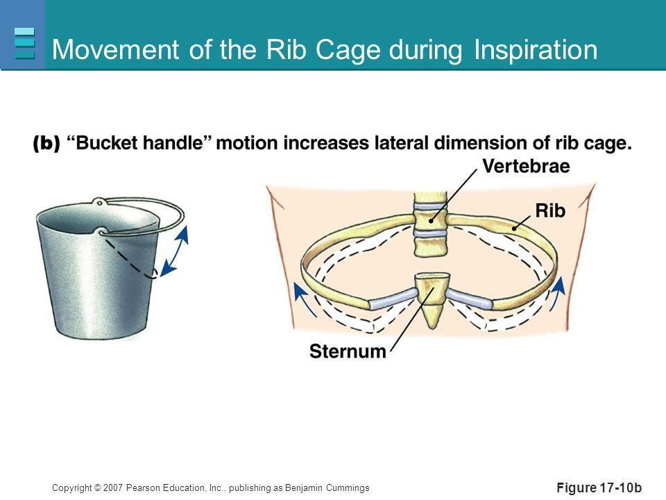 Movement of the Rib Cage during Inspiration