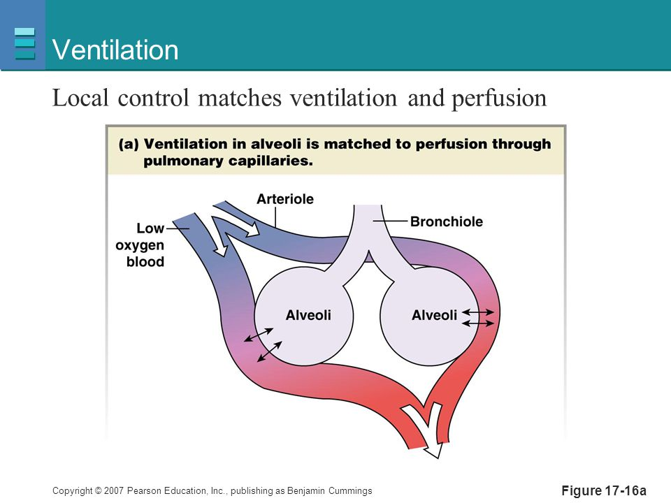 Ventilation Local control matches ventilation and perfusion