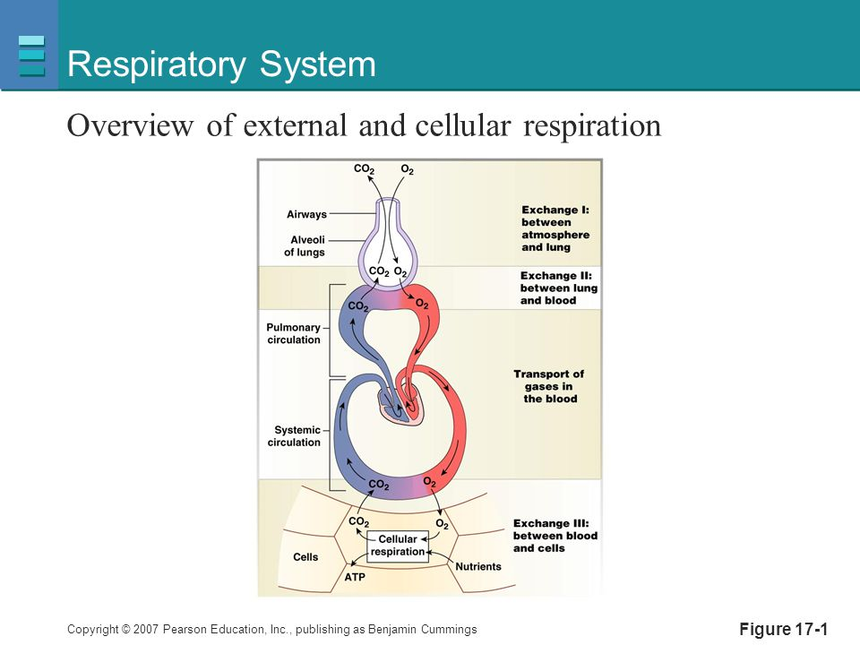 Respiratory System Overview of external and cellular respiration