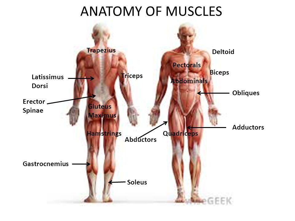 ANATOMY OF MUSCLES Trapezius Deltoid Pectorals Biceps Latissimus ...