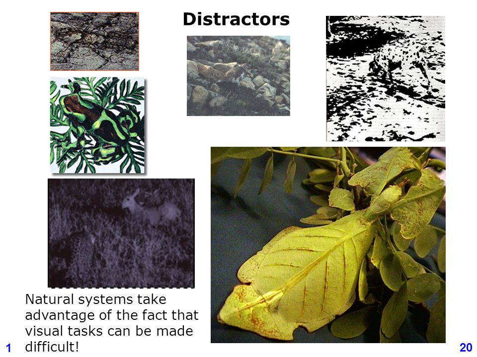 Distractors Natural systems take advantage of the fact that visual tasks can be made difficult!