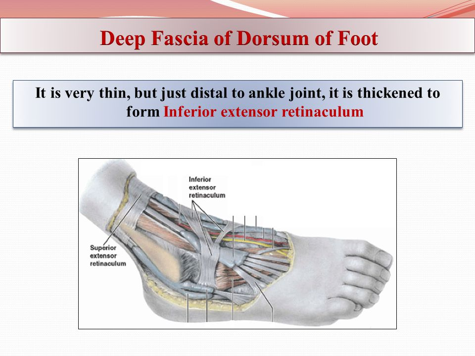 Deep Fascia of Dorsum of Foot
