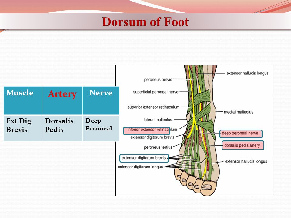 Dorsum of Foot Artery Muscle Nerve Ext Dig Brevis Dorsalis Pedis Deep