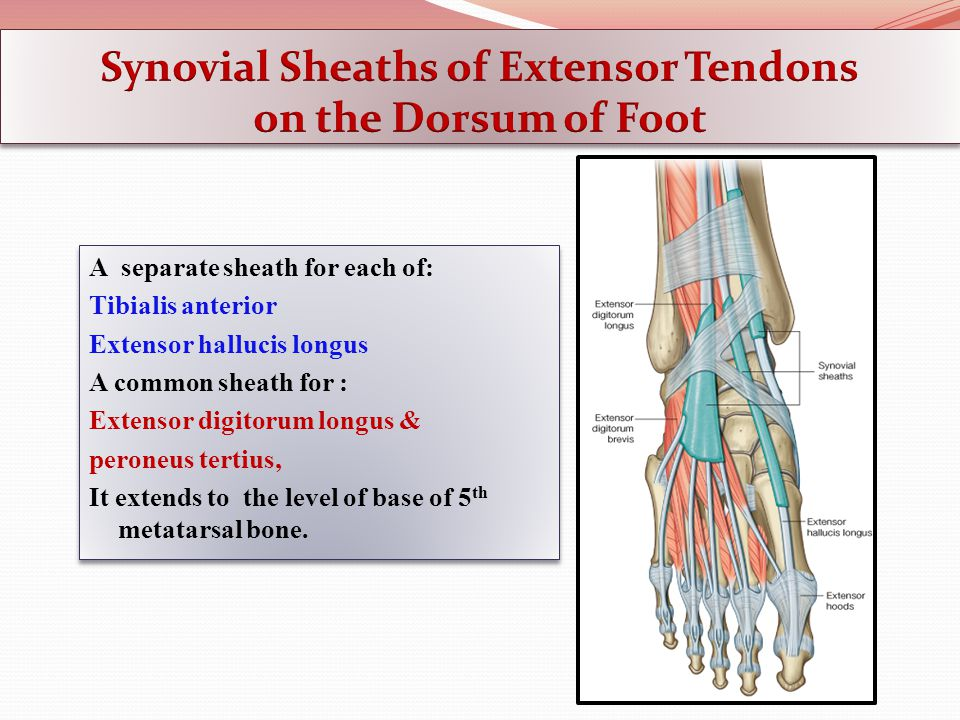 Synovial Sheaths of Extensor Tendons on the Dorsum of Foot