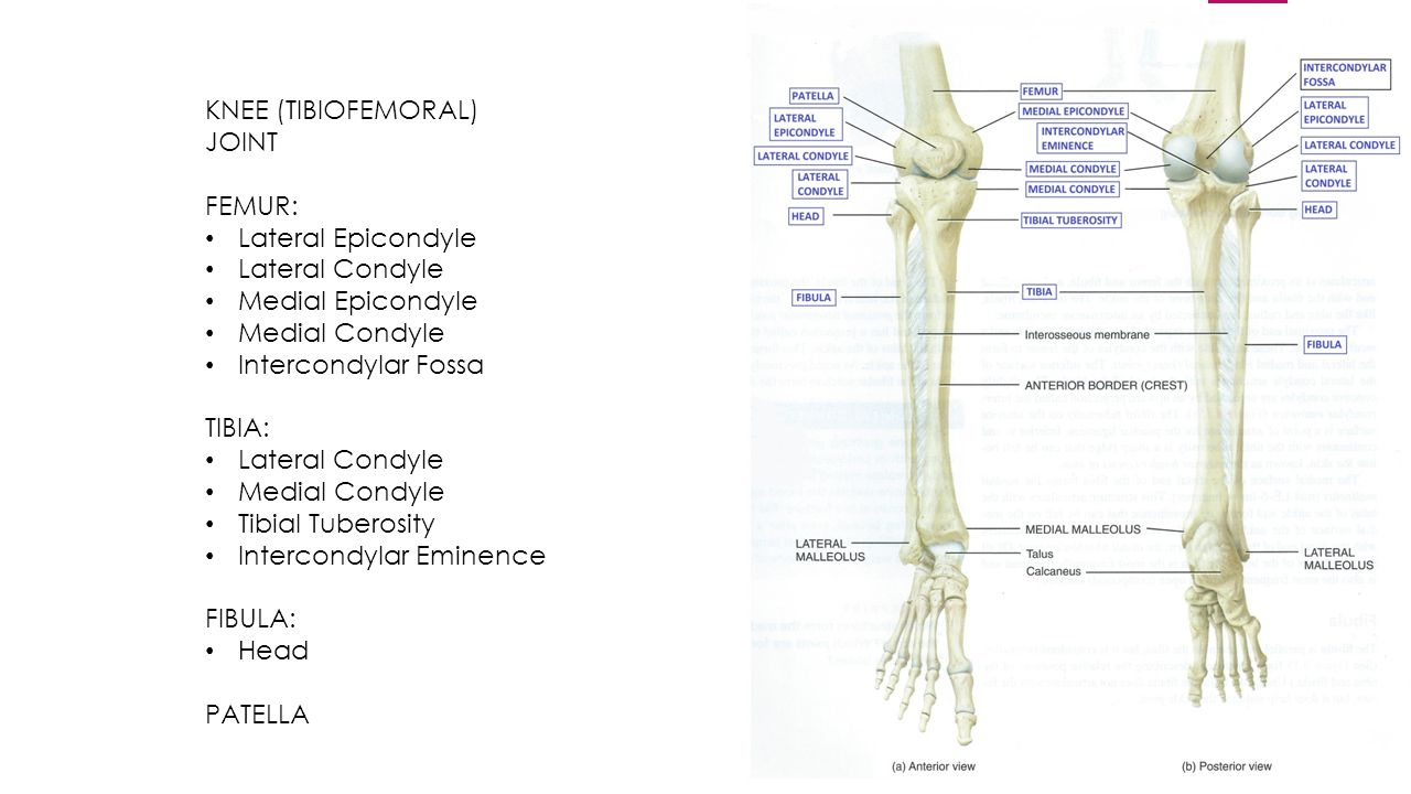 Tibiofemoral joint anatomy