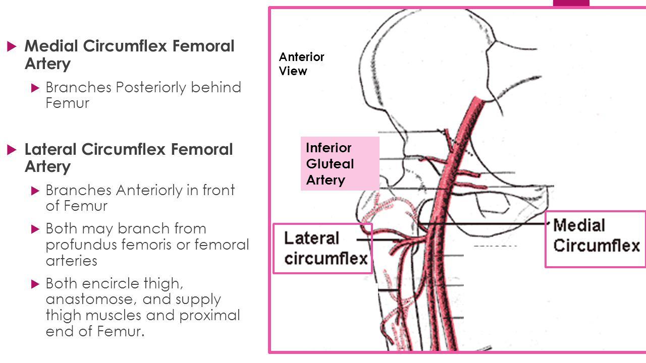 Medial Circumflex Femoral Artery The Knee (Tibiofemoral...