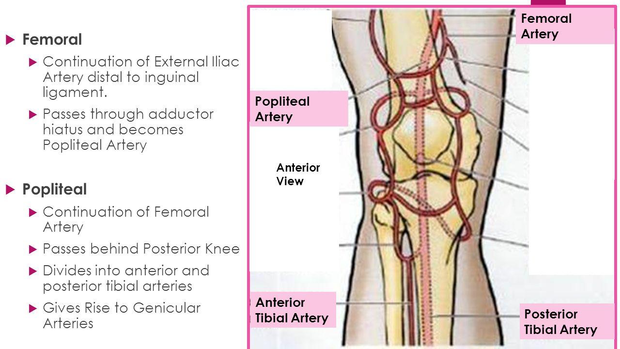 External iliac artery anatomy