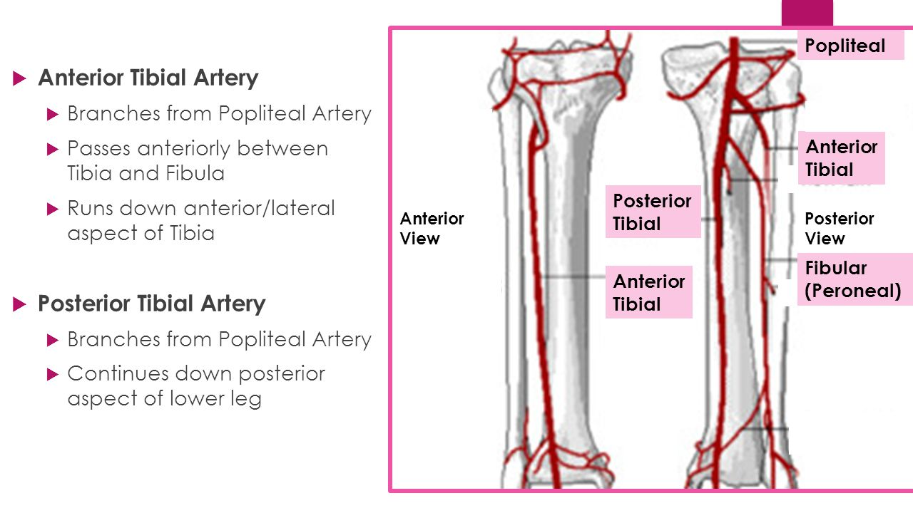 Anterior tibial artery anatomy